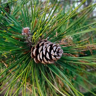 Pine Needles and Pine Cones