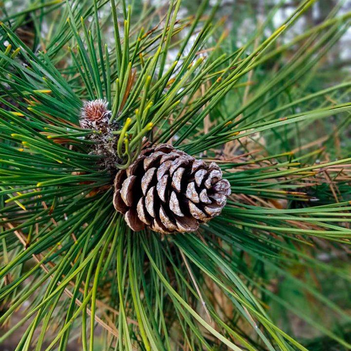 Pine Needles and Pine Cones