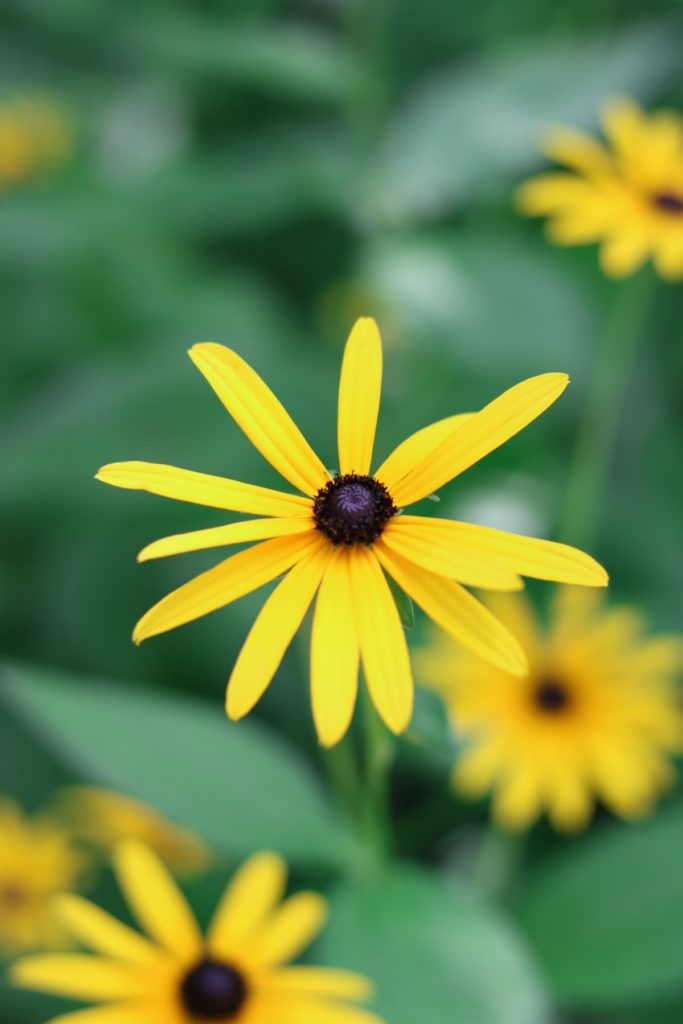 Yellow flower with a black center, Black Eyed Susan
