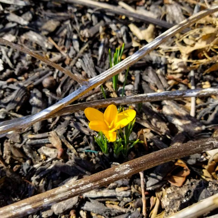 Crocus in bloom, a sign of spring