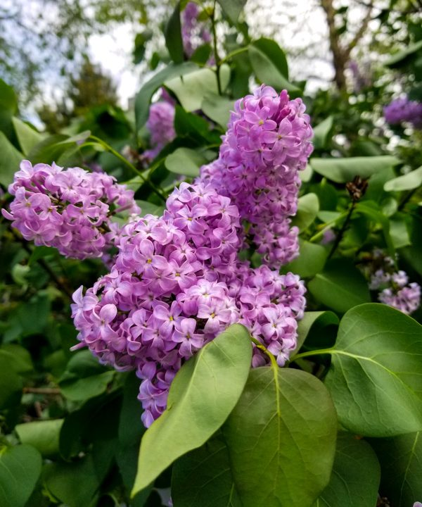 a close up of fresh lilac bush