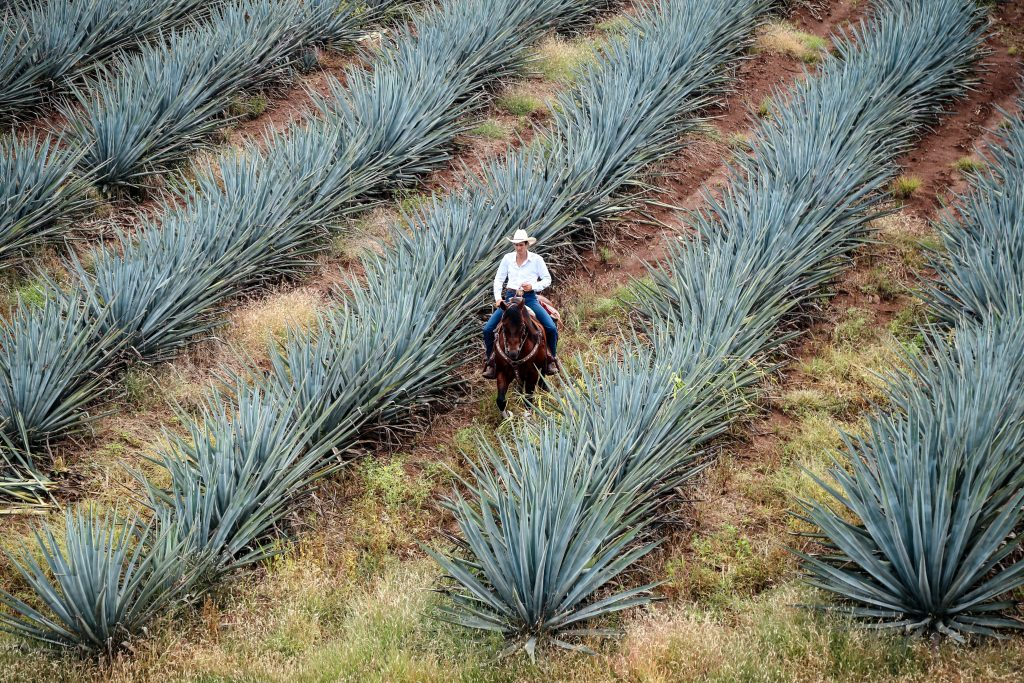 a field of agave plants with a man riding a horse through